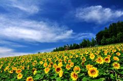 富良野にて 「ひまわりの丘」