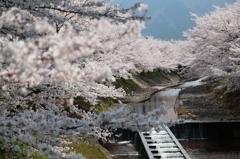 盛春讃花~バリエーション
