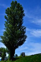 思い出の夏空と大木~富良野にて