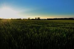 江部乙にて~ 「麦畑の風景」
