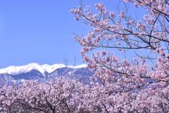 2013年桜便り2~長野県伊那市高遠~