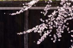 桜花の筆描き