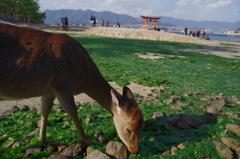 鹿達の宮島