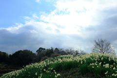 水仙の丘その1