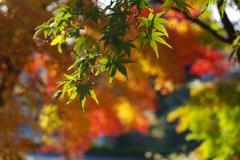 公園の紅葉 2