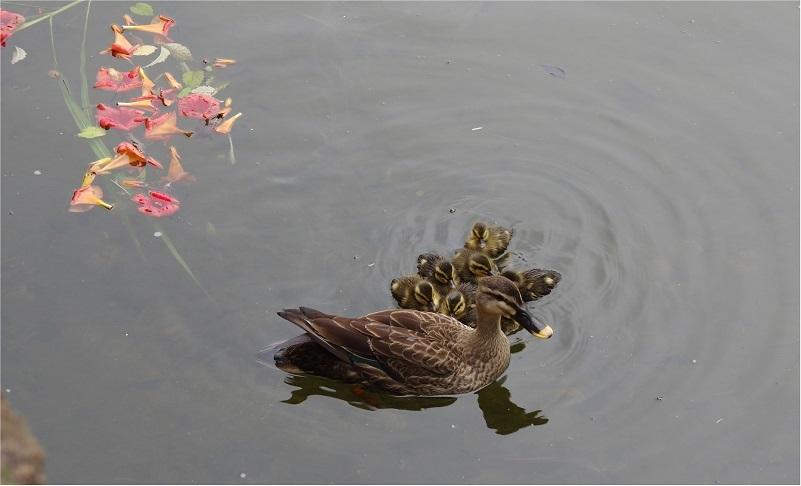 お池のカモ