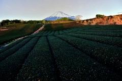 真夜中の茶畑