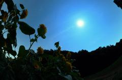 月と向日葵