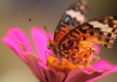この夏を楽しんだ蝶~最後の力を振り絞って・・・