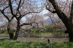 桜・・・今