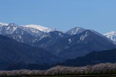 桜と山頂の雪