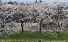 桜、変わらぬ思ひ