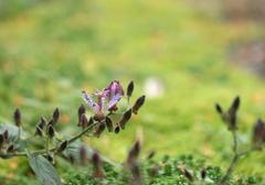 ホトトギスが咲き始めました。