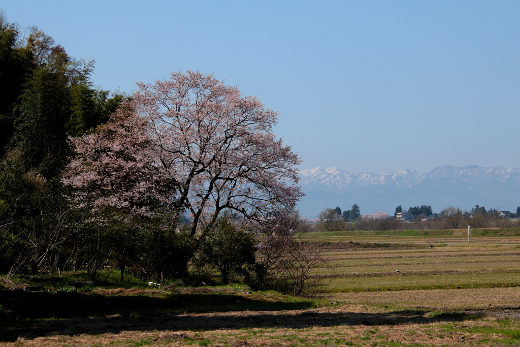 ここにも満開桜