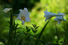 おしゃべり好きな百合の花