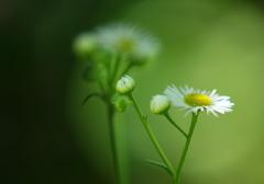 ひっそりと咲いているけど、ガンバルマン