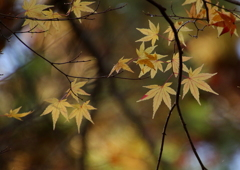 もみじ葉は色づかぬとも散りらむ