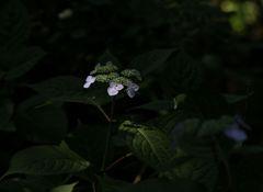 雨待つ紫陽花