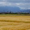 麦畑と、あいの風~♪