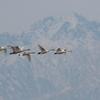 剣岳と白鳥たち