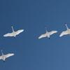 青空に白鳥4羽