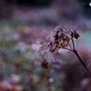 枯れ紫陽花シリーズ1