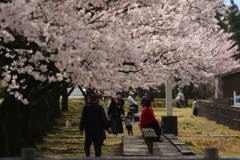 桜 賑わい