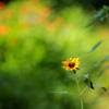 わたしは向日葵…小さくても太陽の子^^♪