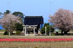 チューリップと桜、神社の向こうは海