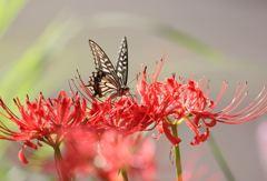 花と蝶(曼珠沙華)