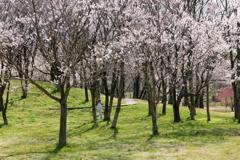 桜~咲いたよ~♪