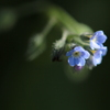 空色の小さな花