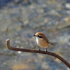 Shrike again