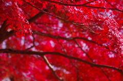 「Maple」