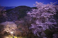 吉野・夜桜