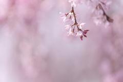 咲くやさくら