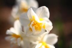 白い花F1.8接写