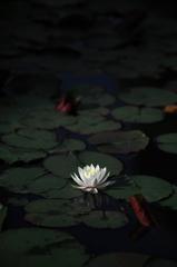 2015'睡蓮花2