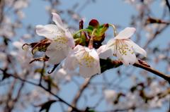 札幌 開花