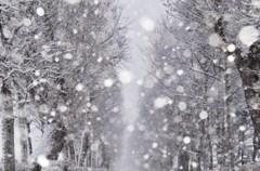 吹雪の並木道