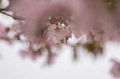 美瑛 包桜