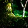 支笏湖巨木の森 緑の時