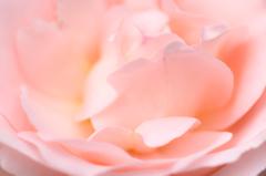 ガーデンの薔薇