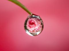★薔薇の涙★