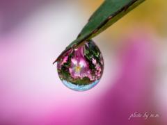 Drop of a rose