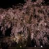 京の枝垂れる夜桜
