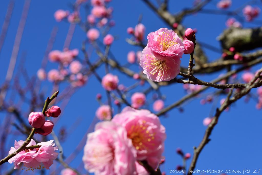 ume blossoms.3