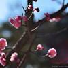 ume blossoms.2