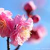 ume blossoms.1