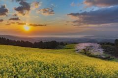 桜と菜の花と朝日